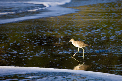 Willet at Muir Beach
