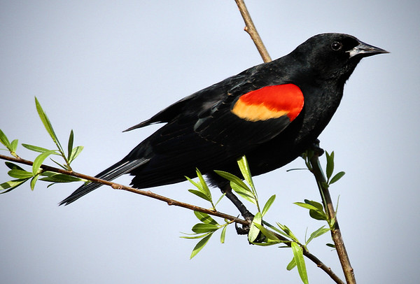 A male red-winged blackbird (Agelaius phoeniceus) perched in a tree (2009_03_21_013137)