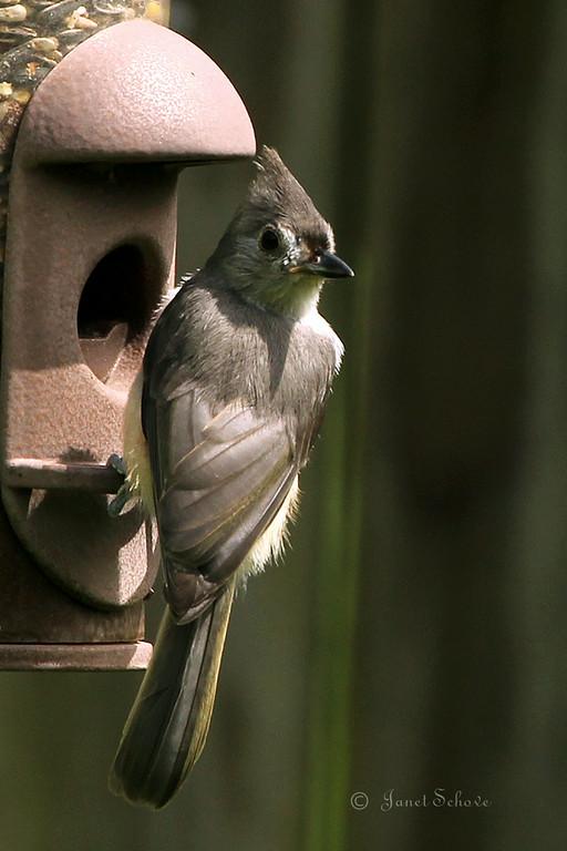 IMAGE: http://jschove.smugmug.com/Nature/Birds/i-Swzv6P2/0/XL/TuftedTitmouse_7622-XL.jpg