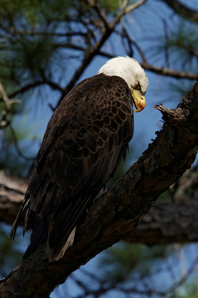 Bald Eagle Sleeping - St. Marks NWR, Florida