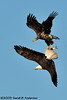 Adult Bald Eagle attempting to steal a fish from a juvenile Bald Eagle.<br /> <br /> January 2009<br /> Nikon D300, Nikon 300 f4, Nikon 1.4 tc