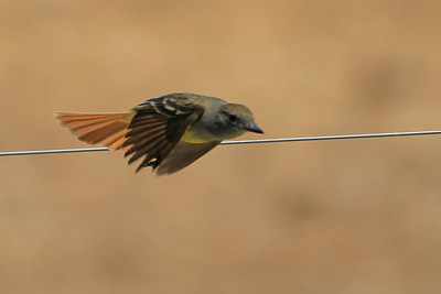 Great Crested Flycatcher ?