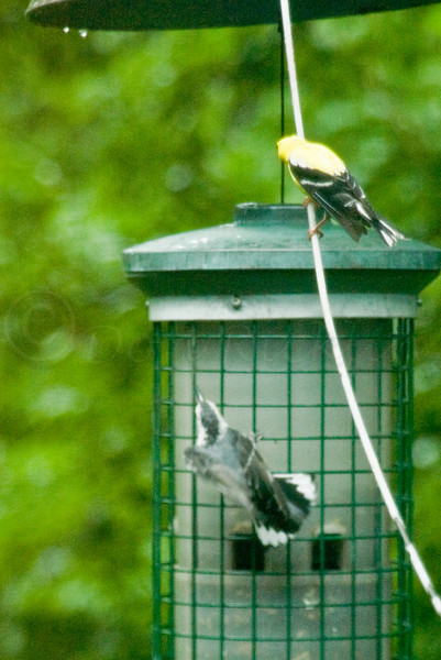 Goldfinch and Nuthatch at the feader