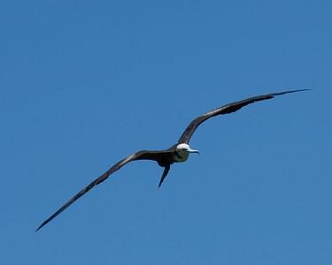 Frigate bird flight