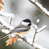 The Chickadees of Winter   2