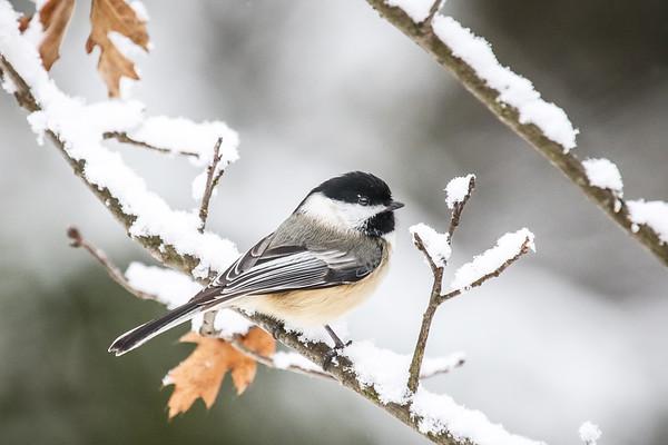 The Chickadees of Winter   2
