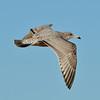 Young Herring Gull in Brazoria County