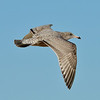 Young Herring Gull in Brazoria County