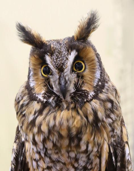 Long-eared Owl  I'm Just all Ears