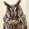 Long-eared Owl  I'm Just all Ears
