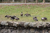 Remember those baby Canada Geese a month or two ago?  Well here they are - all of them!