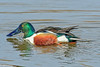 Northern Shoveler Duck at Colusa #2 2-2012