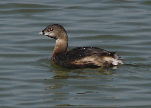 A pied-billed grebe (Podilymbus podiceps) floating on the surface of White Rock Lake (20080405_02986)