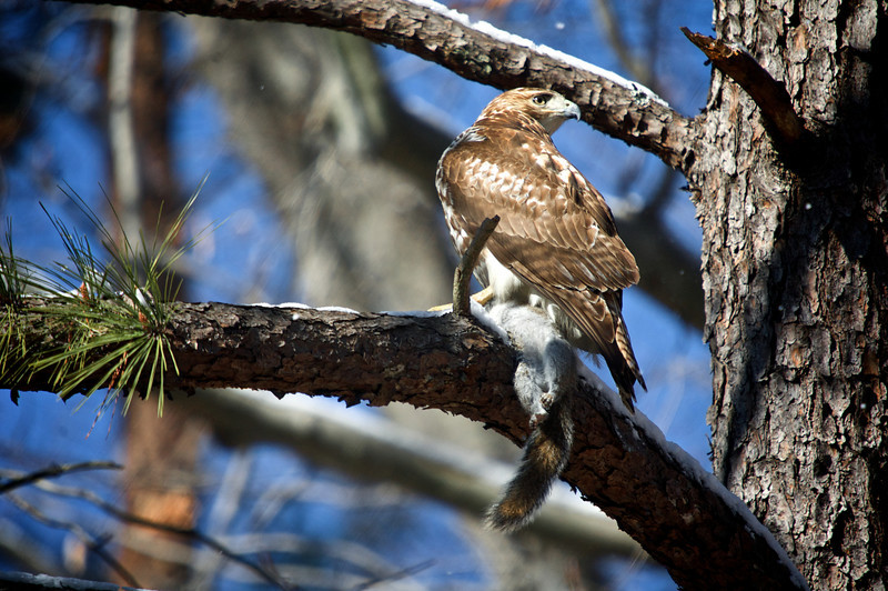 Red-Tailed Hawk (Buteo jamaicensis) with a grey squirrel catch<br /> Williamsburg, Virginia, USA<br /> IUCN Status: Least Concern