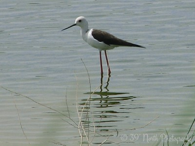 Black-Winged Stilt Kirkuk, Iraq