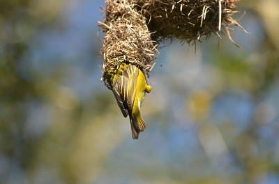 Lessor Masked Yellow Weaver ……………….[ Copyright © - Photo by Barry Jucha ]