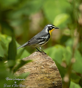 yellow throated warbler 120A6332