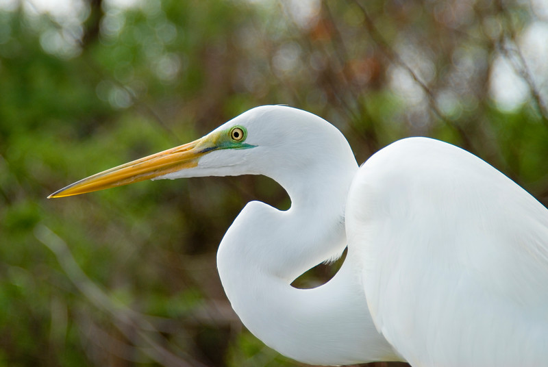 Great Egret (0410)<br /> Photograph by Angela M. Jorczak, all rights reserved.