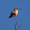 20110122-01 - Anna's Hummingbird