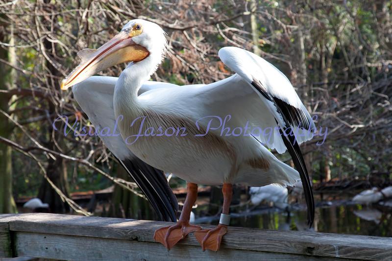 white pelican<br /> Pelicanus erythrorhyncos