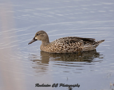 Female Blue Winged Teal