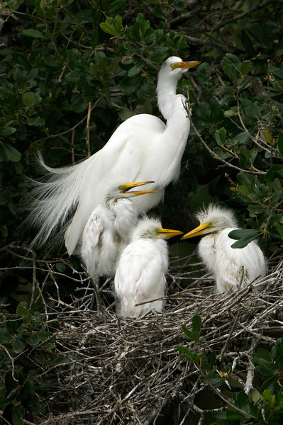 Great Egret Family, St. Augustine, Florida