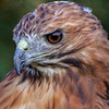 Red Tail Hawk #3