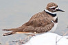 Kildeer, Sandy Ridge Reservation, 3/31/11.