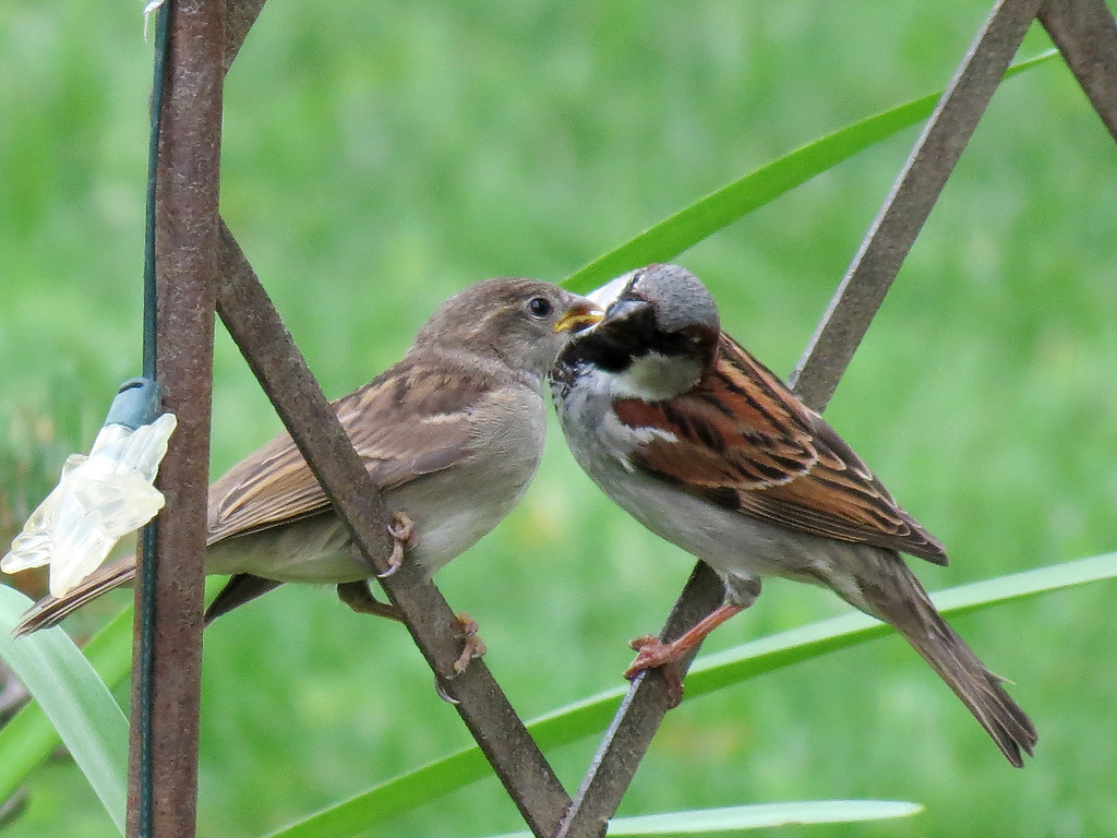 Sparrow feeding its newly fledged baby.