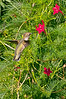 Ruby-throated Hummingbird female, 9/1/10.