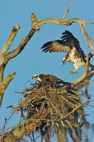 Osprey Pair, Orlando Wetlands, Florida