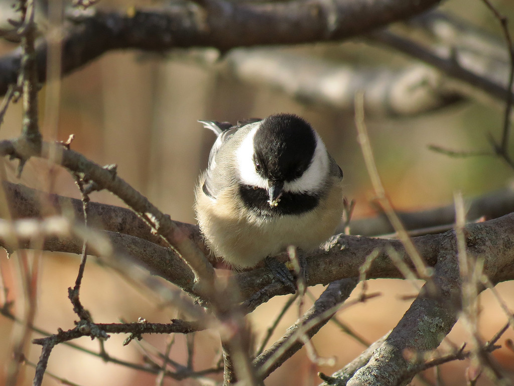 The Chickadee grabs one seed and then flies to a <br /> nearby tree to eat the seed.