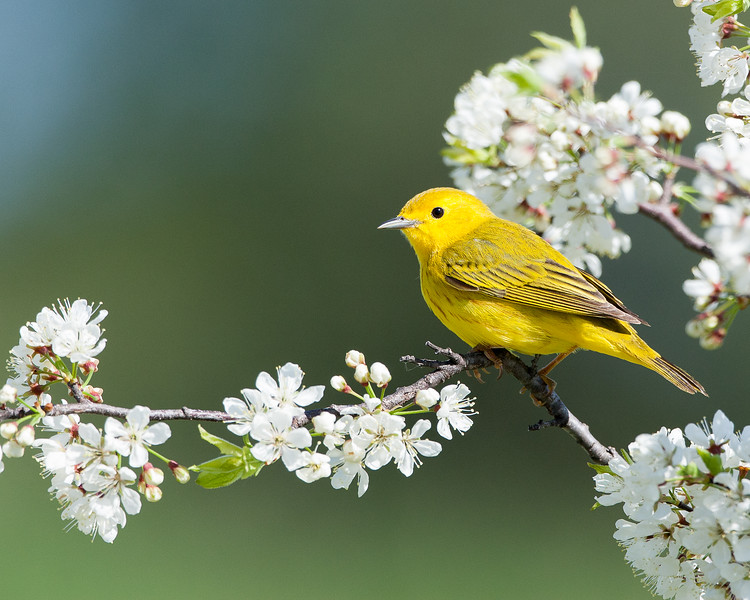Yellow Warbler in Spring