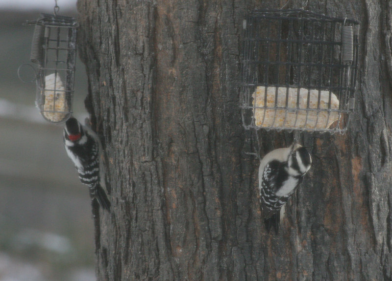 Male and female Downey Woodpeckers on Sugar Maple Tree<br /> Wrentham MA<br /> © WEOttinger, The Wildflower Hunter - All rights reserved<br /> For educational use only - this image, or derivative works, can not be used, published, distributed or sold without written permission of the owner.
