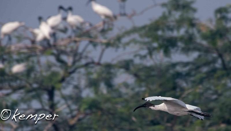 Black-headed Ibis 1