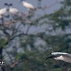 Black-headed Ibis 1