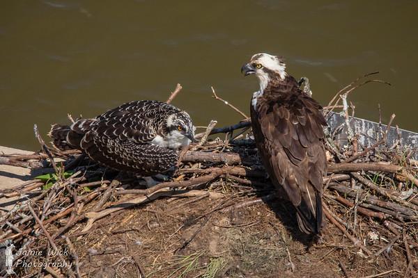 Adult & Juvenile Osprey