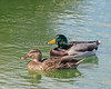 A pair of Mallard Ducks (Anas platyrhynchos)