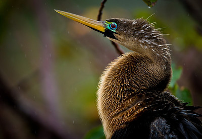 Anhinga Mating Colors pose