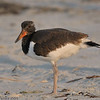 Oystercatcher Chick<br /> <br /> This photograph is protected by the U.S. Copyright Laws and shall not to be downloaded or reproduced by any means without the formal written permission of Bob Arkow Photography.