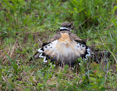 Killdeer and EggsEMW_9216
