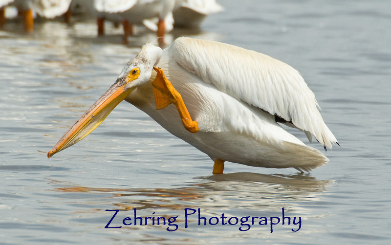 An American white pelican easily balances on one foot while scratching behind the neck.