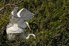 Great White Egrets mating - Venice Rookery - Jan 20, 2010