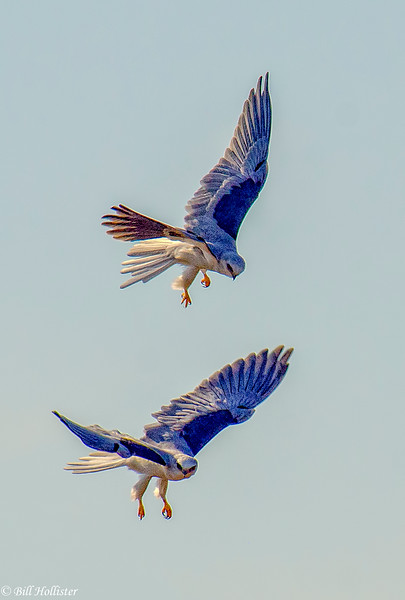 White Tail Kite pair in-flight acrobatics 5b10-2013-Edit-Edit-2