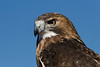 Red Tailed Hawk - February 2008