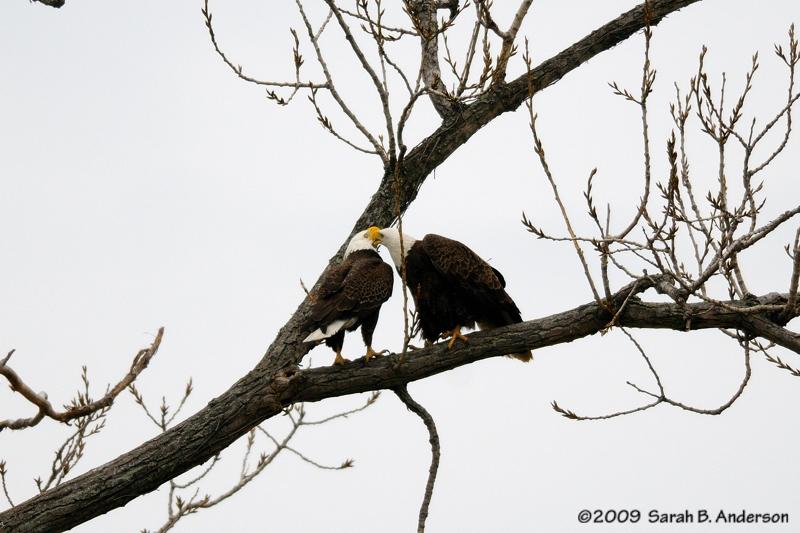 Bald Eagles courtship display,<br /> Potomac River,<br /> Alexandria, Virginia<br /> February 2009