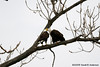Bald Eagles courtship display,<br /> Potomac River,<br /> Alexandria, Virginia<br /> February 2009