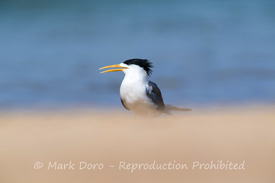 Crested Tern, Stockton Beach, Port Stephens, NSW