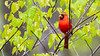 Male Northern cardinal in redbud tree