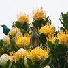 African Sunbird